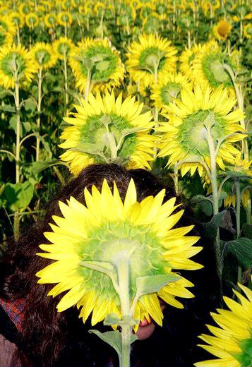 floareasoareluikr1